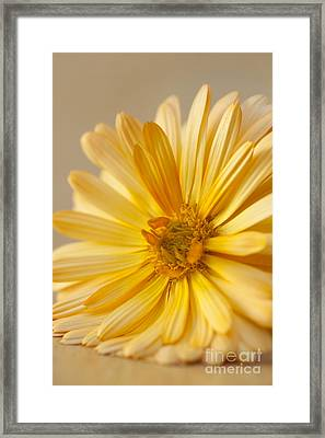 Soft Marigold Framed Print by Anne Gilbert