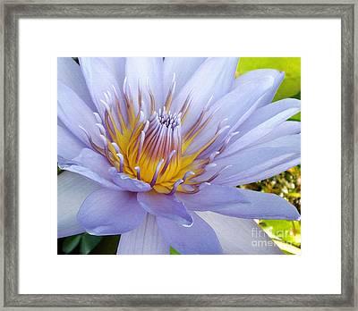 Soft Mauve Waterlily Framed Print by Kaye Menner