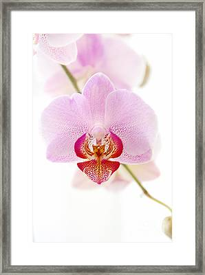Soft Orchid Framed Print by Hannes Cmarits