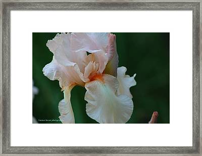 Soft Peach Iris Framed Print
