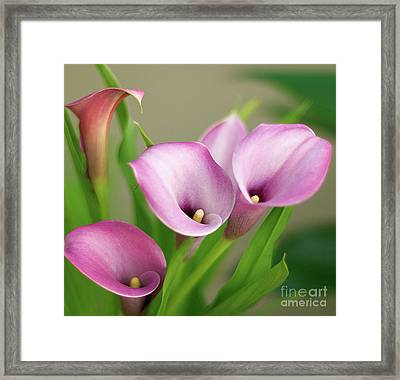Framed Print featuring the photograph Soft Pink Calla Lilies by Byron Varvarigos