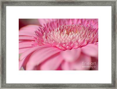 Soft Pink Gerbera Daisy Framed Print