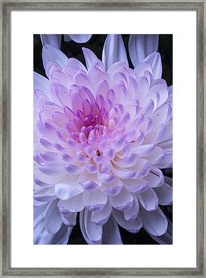 Soft Pink Mum Framed Print by Garry Gay