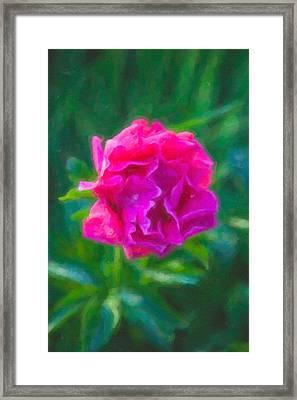 Soft Pink Peony Framed Print by Omaste Witkowski