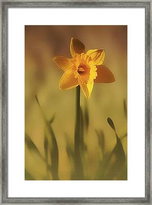 Soft Spring Daffodil Framed Print by Anne Macdonald