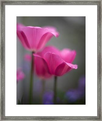 Soft Tulip Twilight Framed Print by Mike Reid