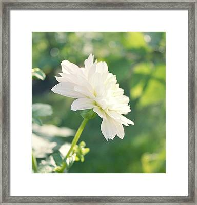 Soft White Dahlias Framed Print by Cathie Tyler