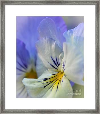 Soft White Pansy Framed Print by Amy Porter