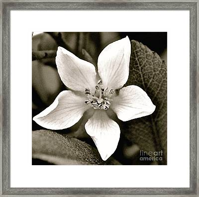 Soft White Petals Framed Print by Cindy Nearing
