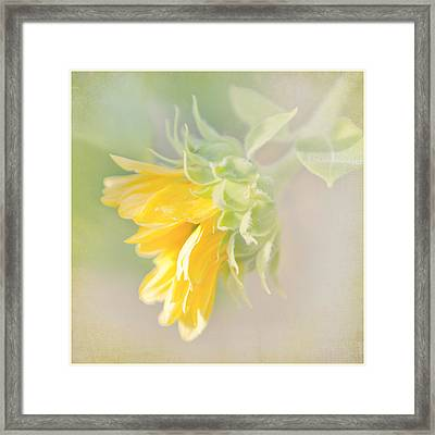 Soft Yellow Sunflower Just Starting To Bloom Framed Print