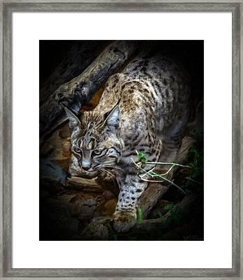 Soften Bobcat Framed Print by Elaine Malott
