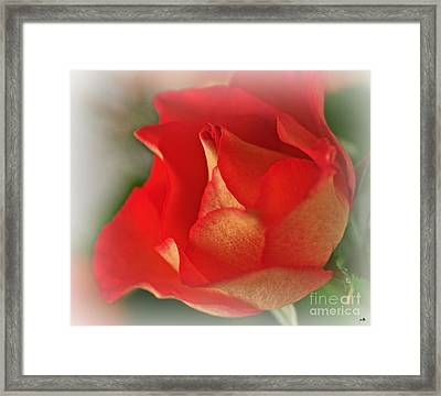 Soften Rose Framed Print