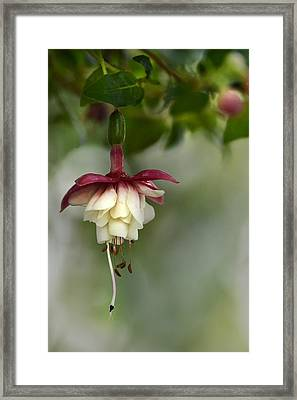 Softly Hanging Framed Print by Ann Bridges