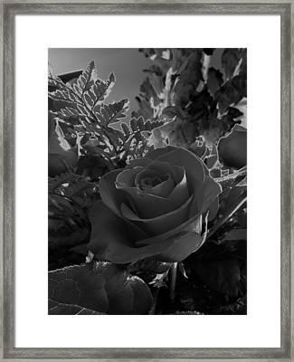 Solarized Rose Framed Print by Scott Kingery
