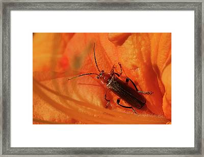 Soldier Beetle Framed Print