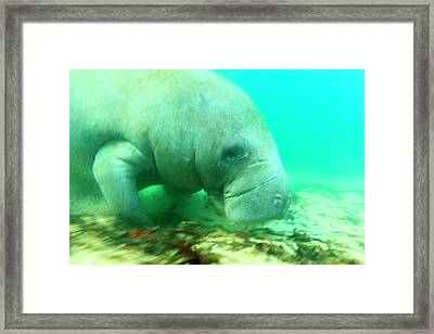Solitary Manatee Swimming In The Weeki Framed Print
