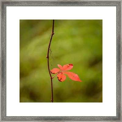 Solitary Red Leaf Framed Print