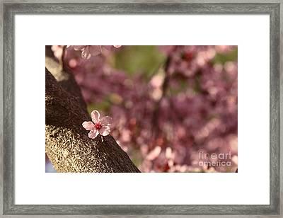 Solo In The Blossom Chorus Framed Print by Jennifer Apffel