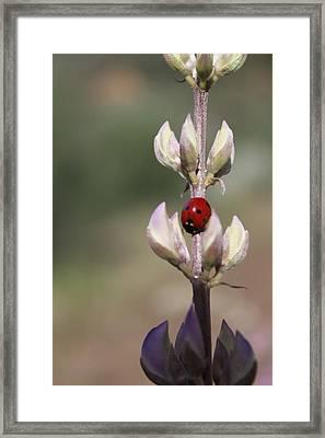 Solo Ladybug Framed Print by Ashley Balkan