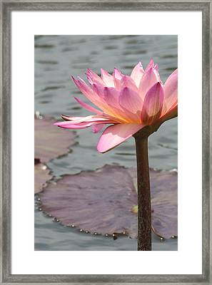 Solo Waterlily Framed Print