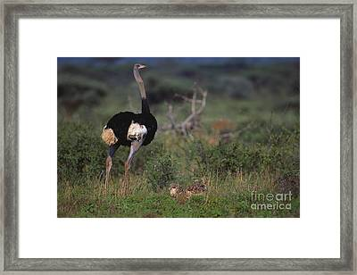 Somali Ostrich With Chicks Framed Print by Art Wolfe