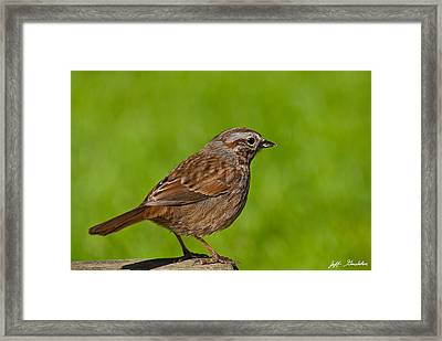 Song Sparrow On A Log Framed Print