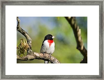 Spring Grosbeak Framed Print by Christina Rollo