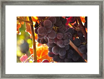 Sonoma Grapes Framed Print by Michael Dyer