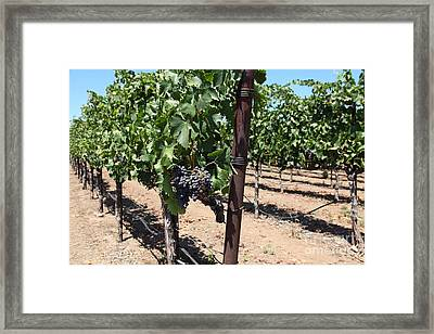 Sonoma Vineyards In The Sonoma California Wine Country 5d24490 Framed Print by Wingsdomain Art and Photography