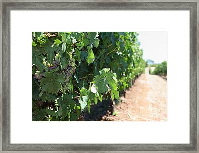 Sonoma Vineyards In The Sonoma California Wine Country 5d24510 Framed Print by Wingsdomain Art and Photography