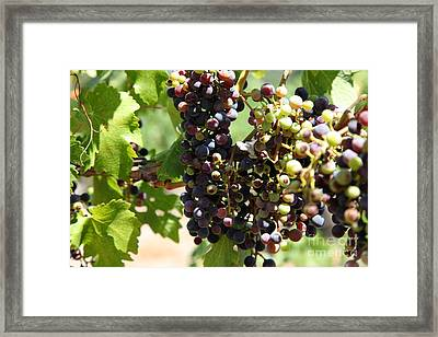 Sonoma Vineyards In The Sonoma California Wine Country 5d24572 Framed Print by Wingsdomain Art and Photography