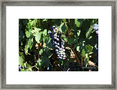 Sonoma Vineyards In The Sonoma California Wine Country 5d24628 Framed Print by Wingsdomain Art and Photography