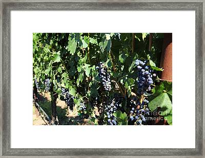 Sonoma Vineyards In The Sonoma California Wine Country 5d24629 Framed Print by Wingsdomain Art and Photography