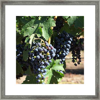 Sonoma Vineyards In The Sonoma California Wine Country 5d24630 Square Framed Print by Wingsdomain Art and Photography