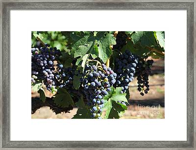 Sonoma Vineyards In The Sonoma California Wine Country 5d24630 Framed Print by Wingsdomain Art and Photography