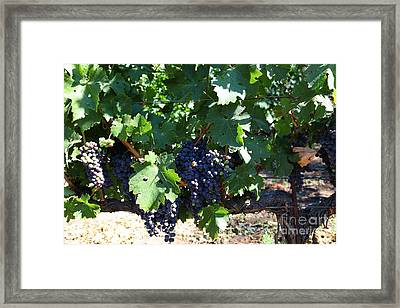 Sonoma Vineyards In The Sonoma California Wine Country 5d24631 Framed Print by Wingsdomain Art and Photography