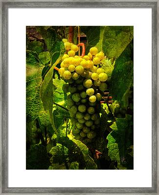 Sonoma Wine Grapes 001 Framed Print