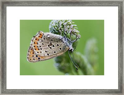 Sooty Copper Butterfly Framed Print