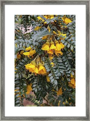 Sophora Sun King Framed Print by Geoff Kidd