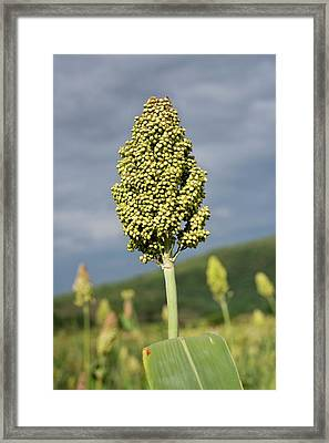 Sorghum Plant Seedhead Framed Print by Tony Camacho