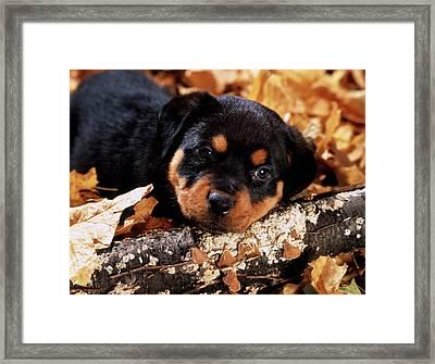 Sorrowful Rottweiler Puppy Lying Framed Print