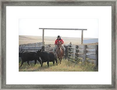 Sorting Heifers Framed Print by Lee Raine