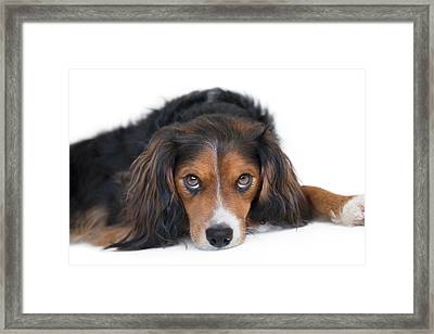 Soulful Black Tan And White Pup Framed Print by Natalie Kinnear
