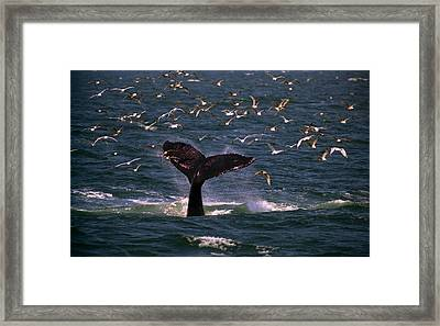 Sounding Humpback Framed Print by Skip Willits