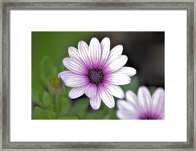 South African Sailor Boy Daisy Framed Print by Dave Woodbridge