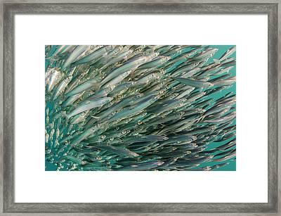 South African Sardine (sardinops Sagax Framed Print