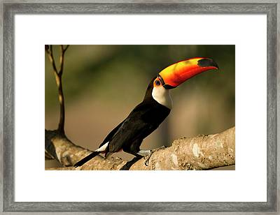 South America, Brazil, Pantanal, Mato Framed Print by Joe and Mary Ann Mcdonald