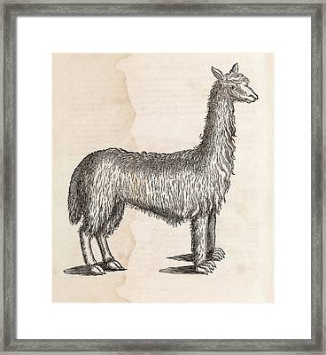 South American Camelid Framed Print