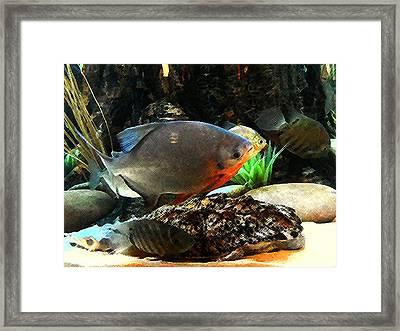 South American Cichlids Framed Print by Shere Crossman
