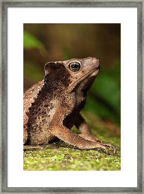 South American Crested Toad (rhinella Framed Print
